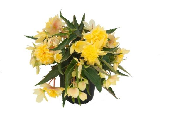 Begonia Belleconia™ Citrus