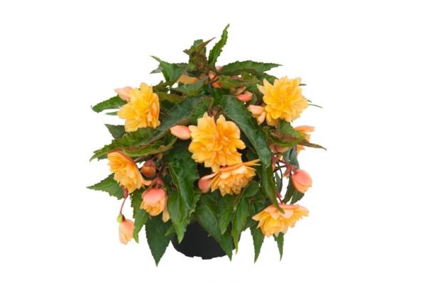 Begonia Belleconia™ Mango