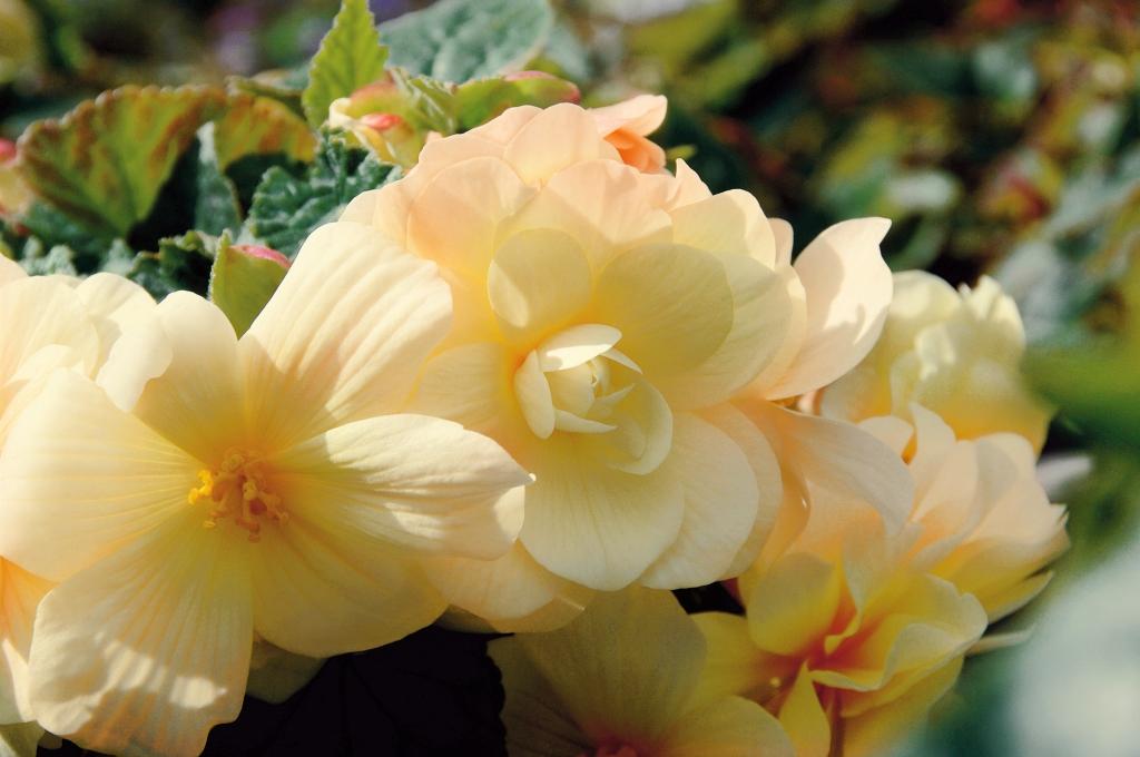 Begonia Chardonnay
