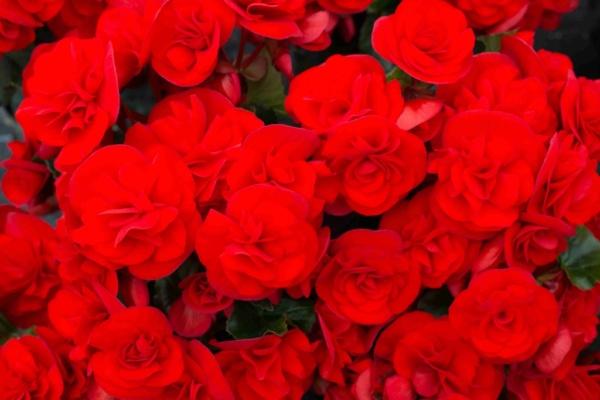 Begonia Pac® Sunbrero® Red
