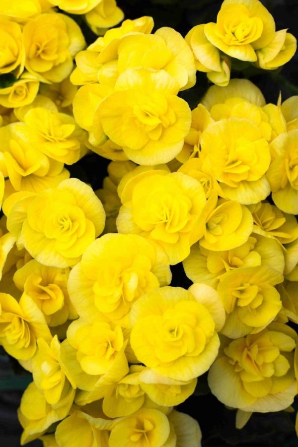 Begonia Pac® Sunbrero® Yellow