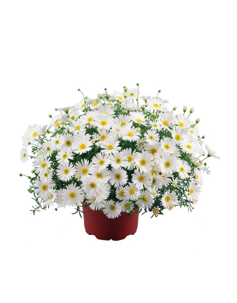 Brachyscome Surdaisy® White improved