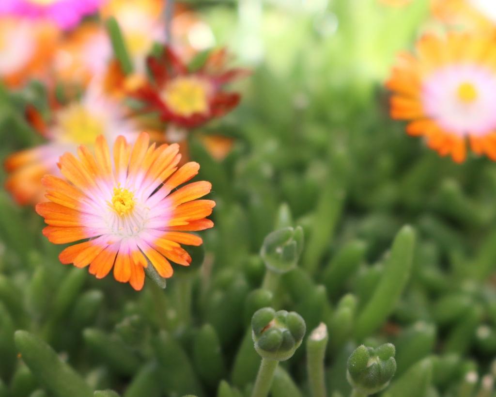 Delosperma cooperi Rock Crystal Orange