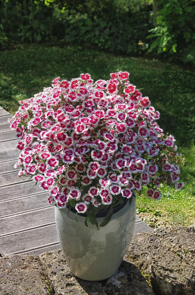 Dianthus-Hybriden Summer Diamonds Ruby Picotee