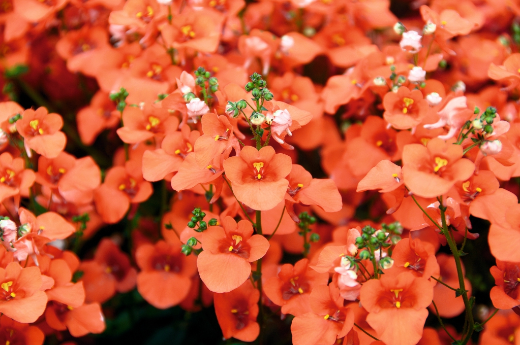 Diascia BREEZE™ Plus Orange