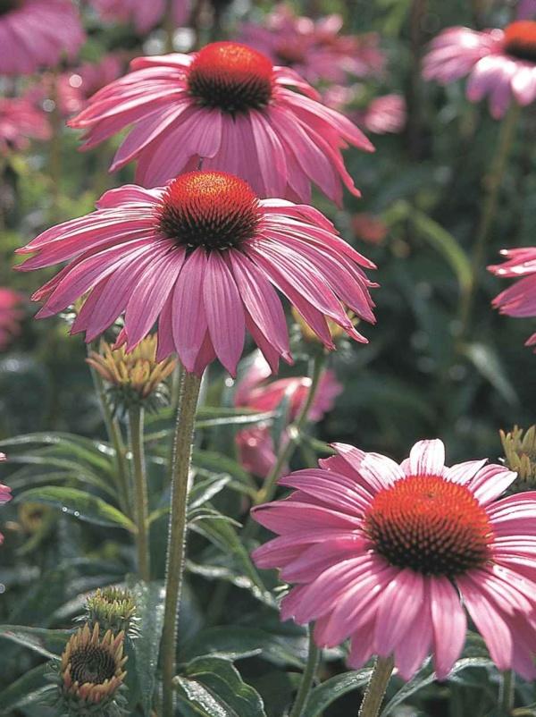 Echinacea purpurea Bright Rose