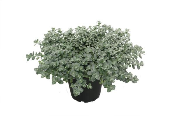 Helichrysum cymosum Silver Moon