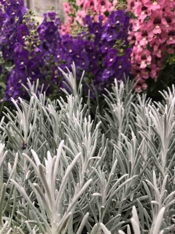 Helichrysum Silverball