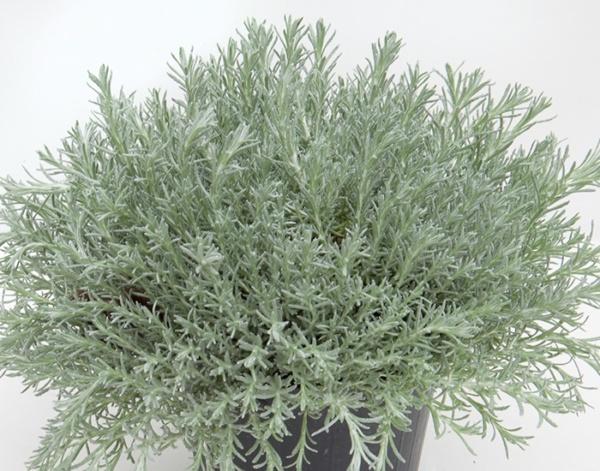Helichrysum italicum Silvio Moundy
