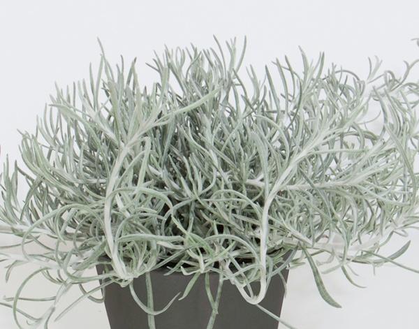 Helichrysum italicum Silvio Spreading