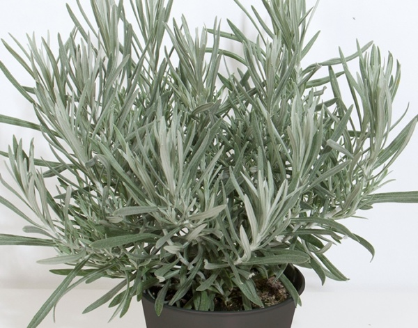 Helichrysum italicum Silvio Tall