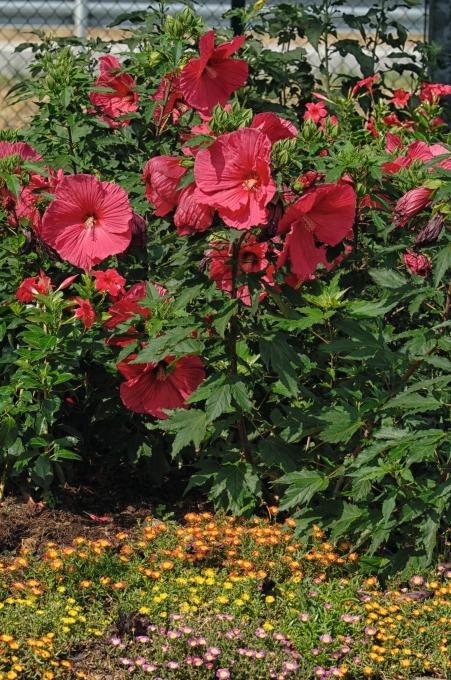 Hibiscus Summerific® My Valentine