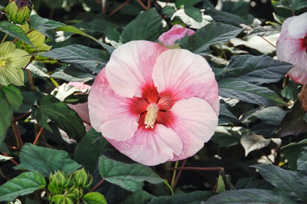 Hibiscus Summerific® Perfect Storm
