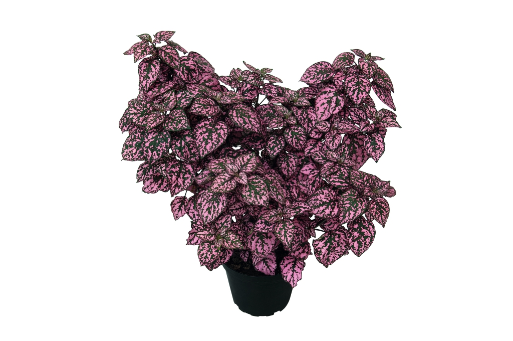 Hypoestes phyllostachya HIPPO™ Pink