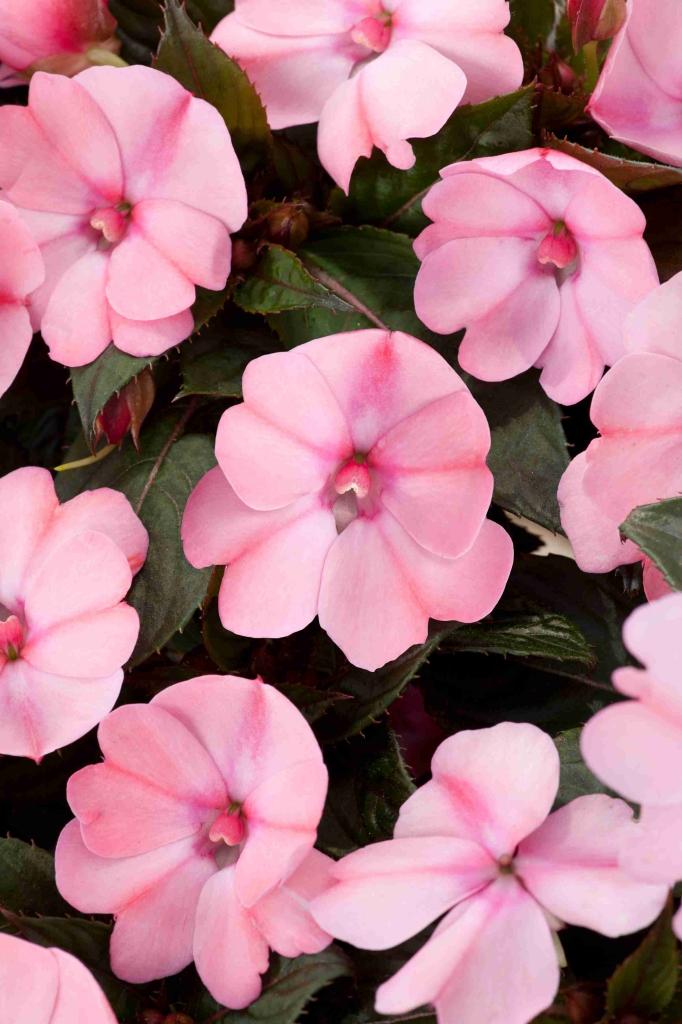 Impatiens New Guinea SunPatiens® Compact Blush Pink