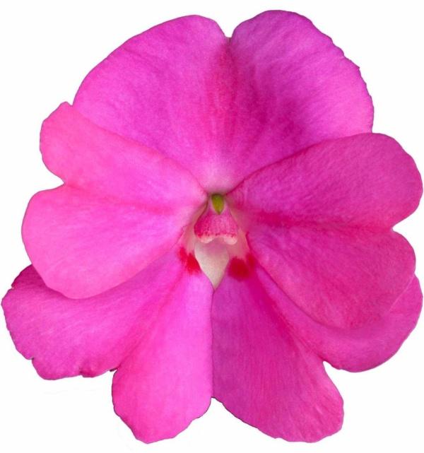 Impatiens New Guinea SunPatiens® Compact Lilac