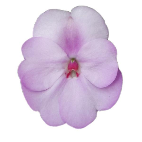 Impatiens New Guinea SunPatiens® Compact Orchid Blush