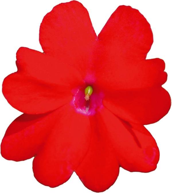 Impatiens New Guinea SunPatiens® Compact Red