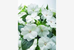 Impatiens New Guinea SunPatiens® Compact White