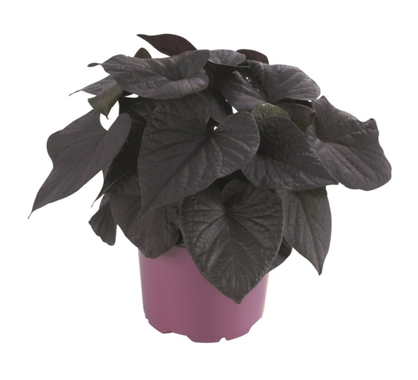 Ipomoea batatas Iposun Black Tone