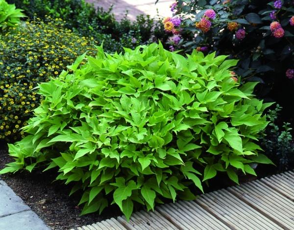 Ipomoea batatas Sweet Caroline® Green