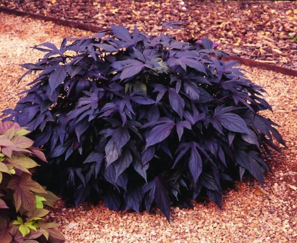 Ipomoea batatas Sweet Caroline® Purple