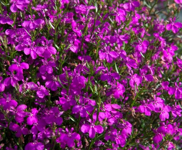 Lobelia Erinus Curacao® Dark Purple