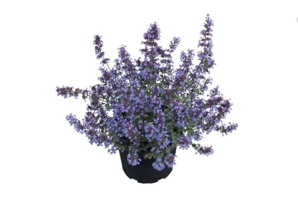 Nepeta hybride Pursain Blue