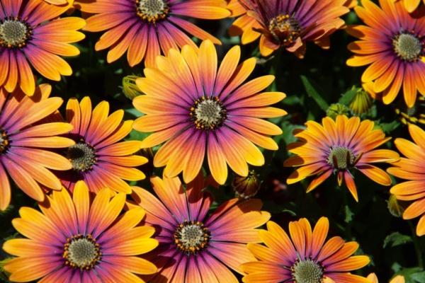 Osteospermum FlowerPower® Purple Sun
