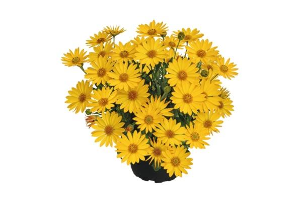 Osteospermum SUMMERSMILE™ Yellow