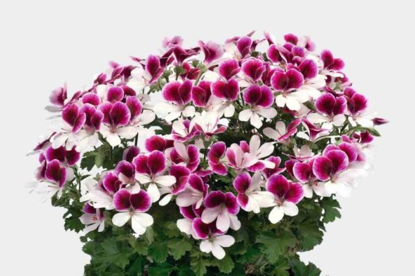 Pelargonium Crispum Angeleyes® Bicolor Impr.