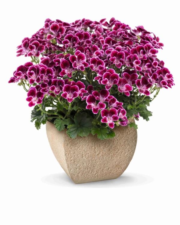 Pelargonium Crispum Angeleyes® Cassis