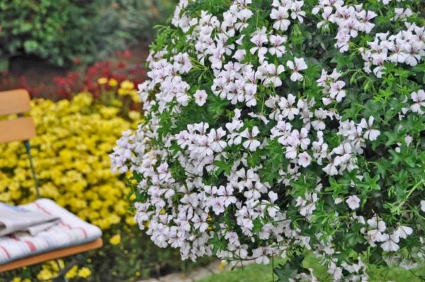 Pelargonium Peltatum Glacier White
