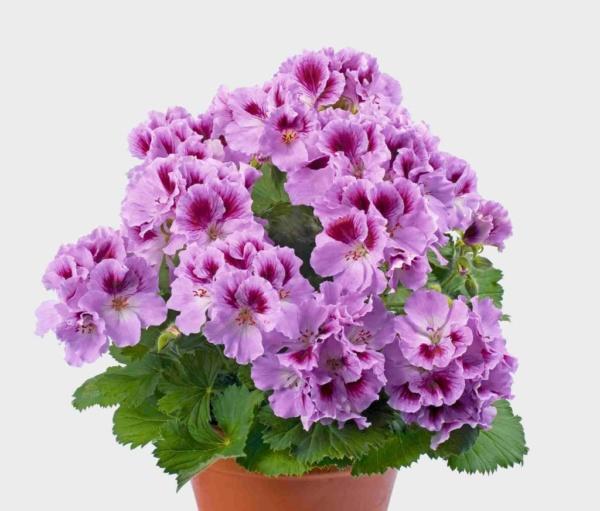 Pelargonium Grandiflorum Aristo® Orchid