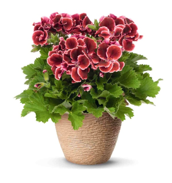 Pelargonium Grandiflorum Aristo® Red Beauty