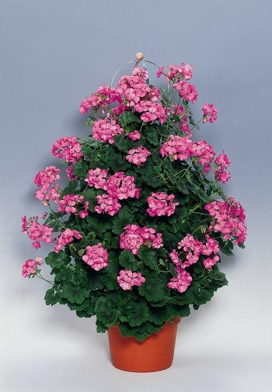 Pelargonium Zonale Pac® Antik Pink