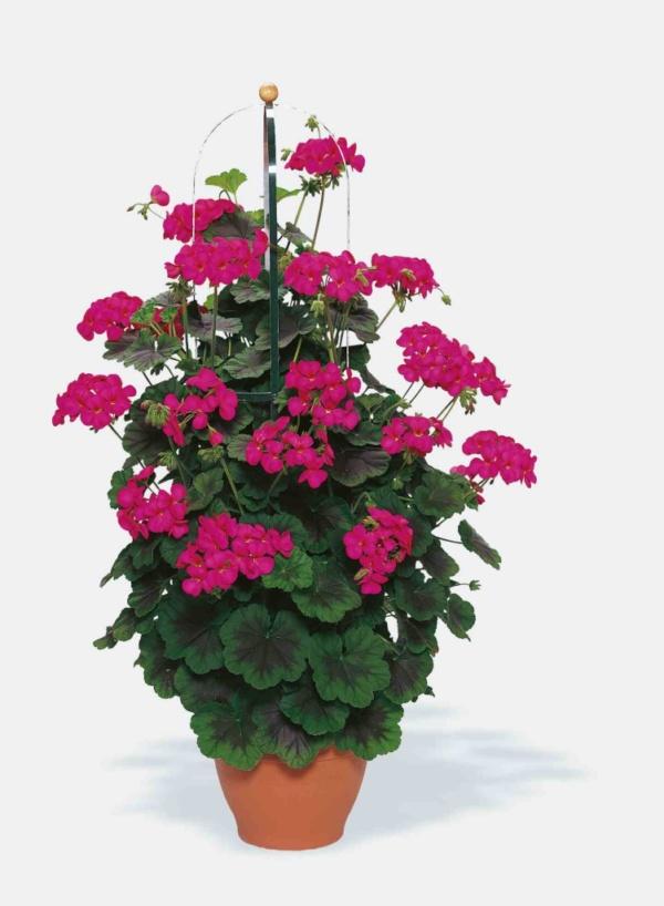 Pelargonium Zonale Pac® Antik Violet