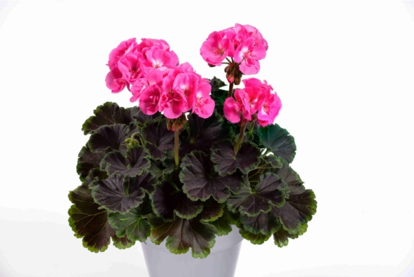 Pelargonium Zonale Pac® Chocolate Pink ´21