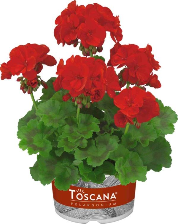 Pelargonium Zonale Trend Dark Red