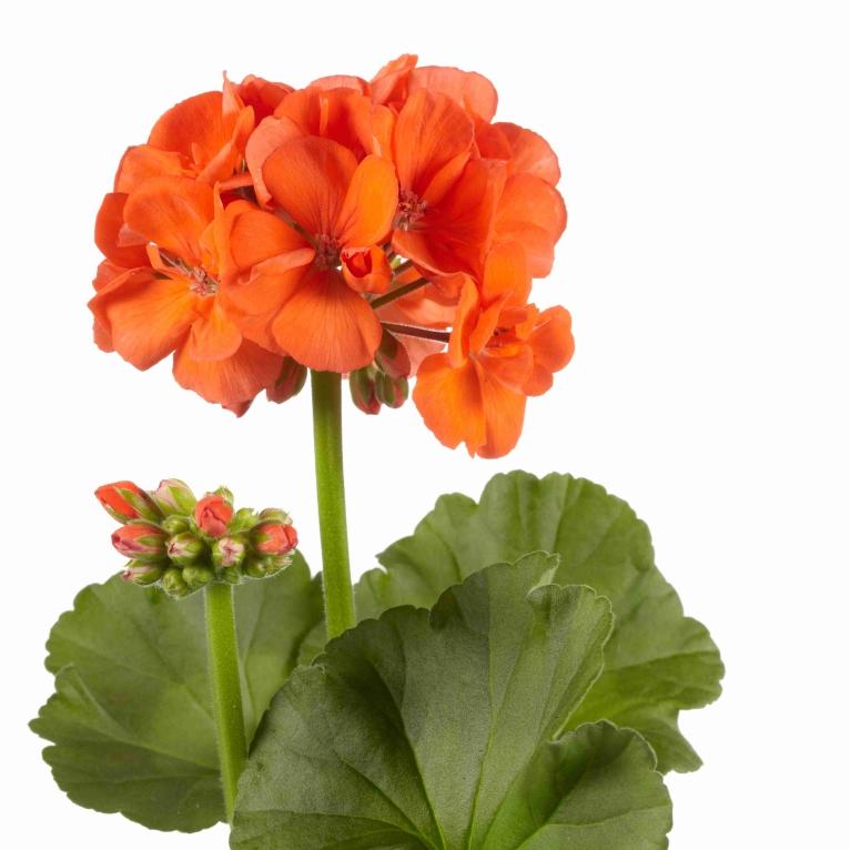 Pelargonium Zonale Trend Orange