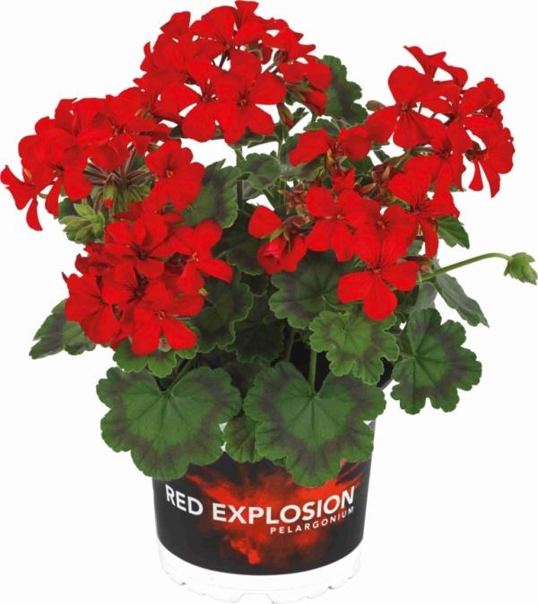 Pelargonium Zonale Interspecific Red Explosion