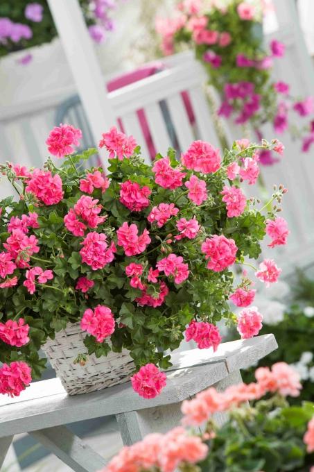 Pelargonium Peltatum Sunflair® GMX Linda Pink