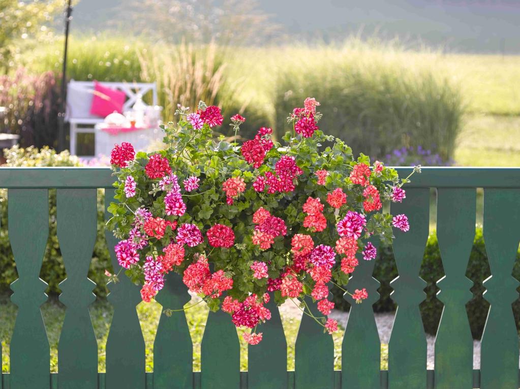 Pelargonium Peltatum Sunflair® GMX Lollipop Chris Red
