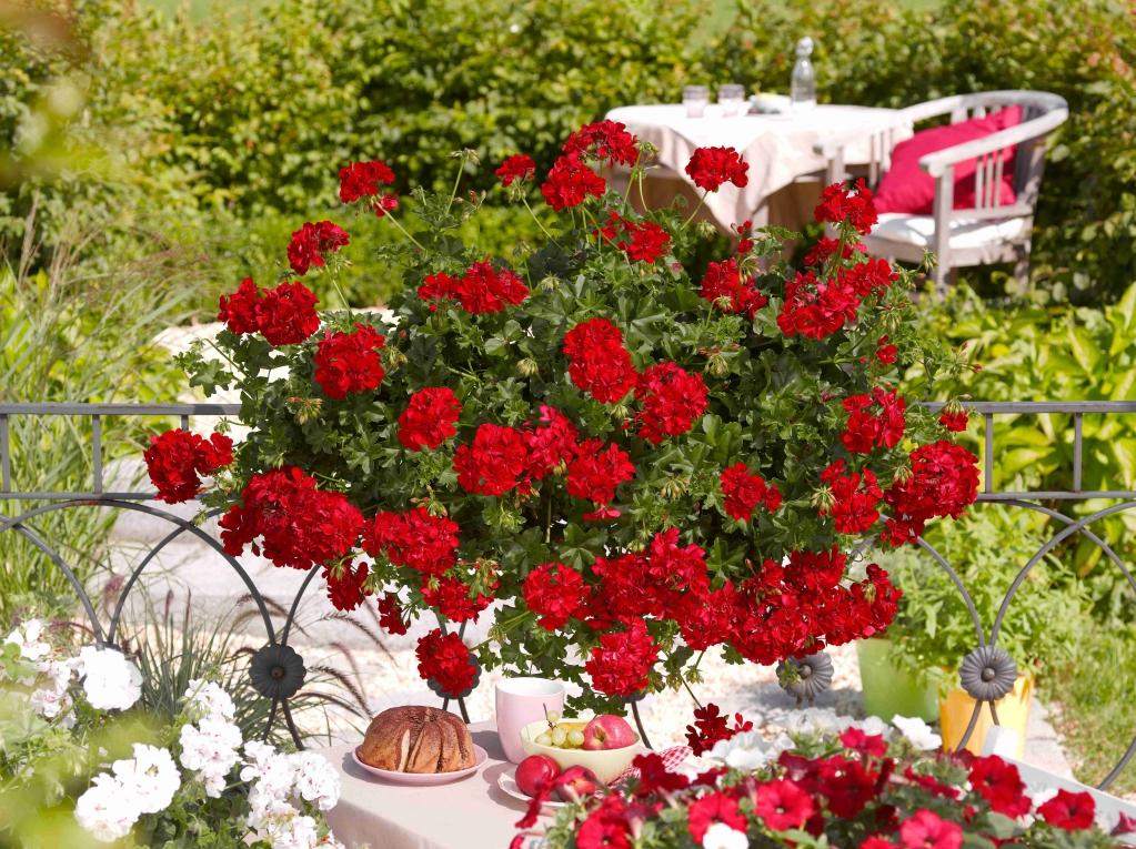 Pelargonium Peltatum Sunflair® GMX Paula Red