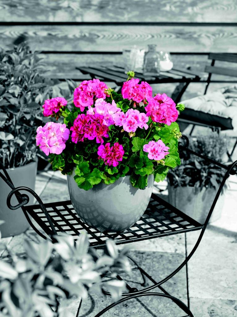 Pelargonium Zonale Trend Gesa Light Pink