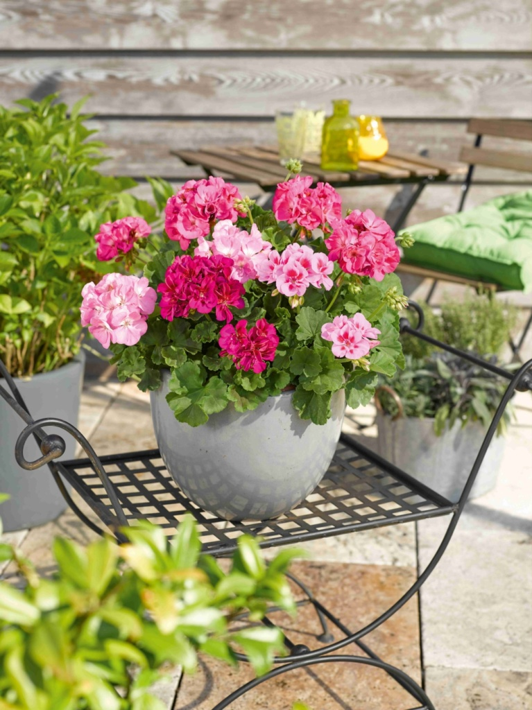 Pelargonium Zonale Trend Hanna Hot Pink