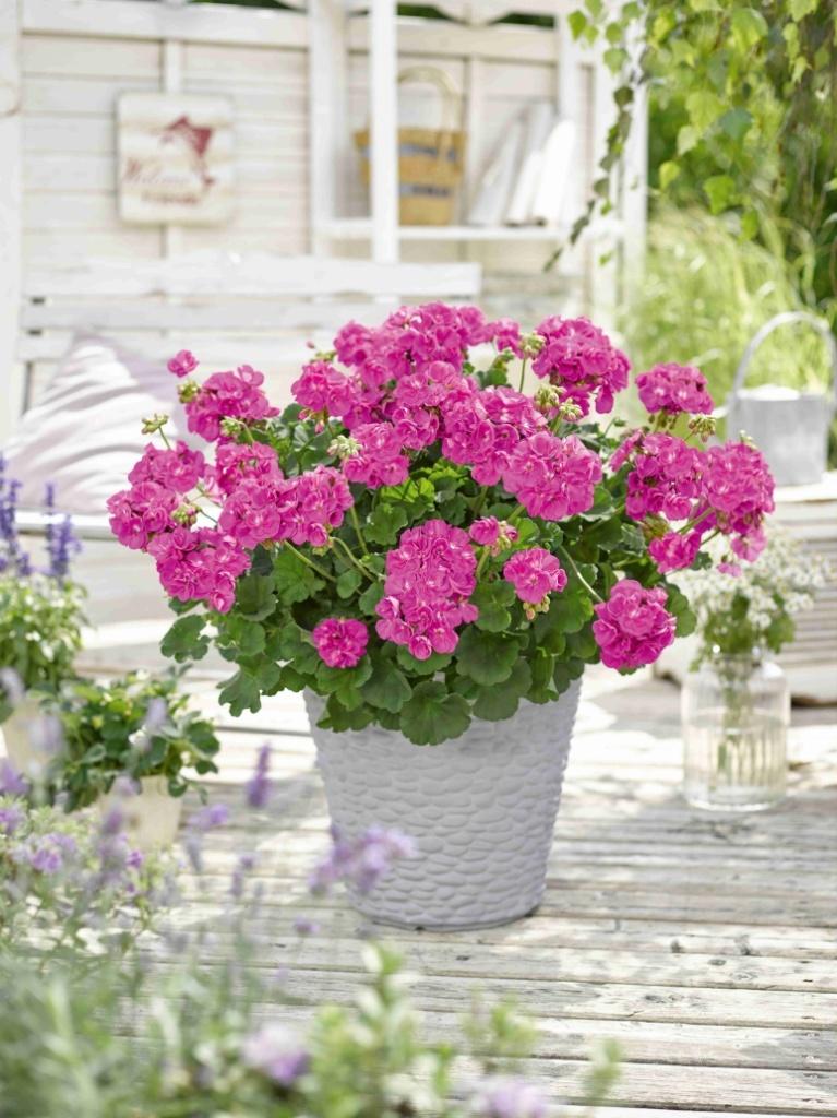 Pelargonium Zonale Trend Lilac