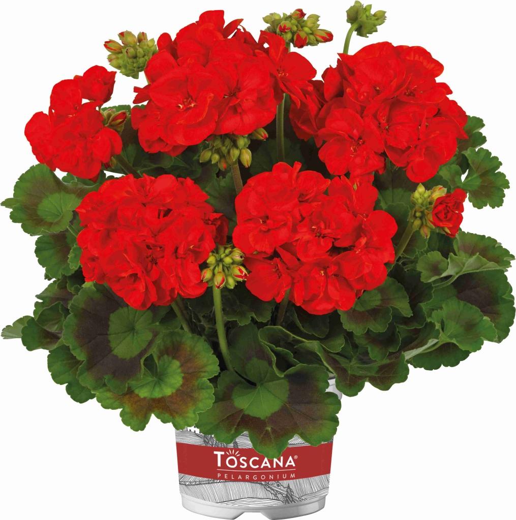 Pelargonium Zonale Trend Red