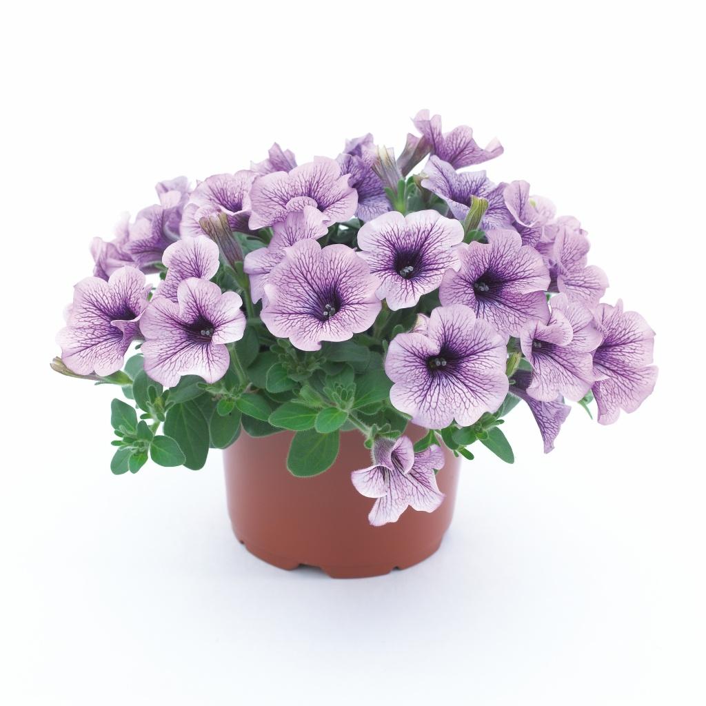 Petunia Grandiflora Surfinia® Compact Purple Vein