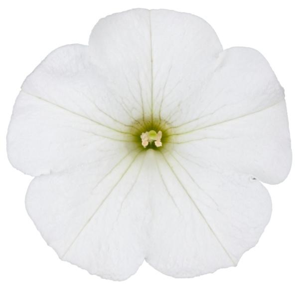 Petunia Gandiflora Surfinia® Snow